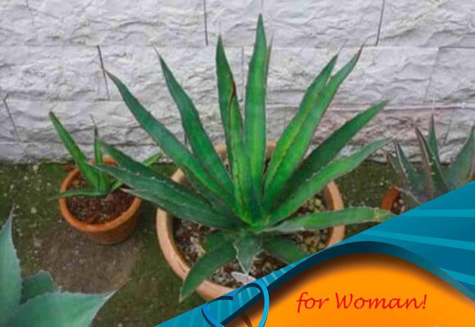 Комнатное растение агава — выращивание в домашних условиях