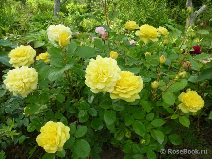 Роза анни дюпрей