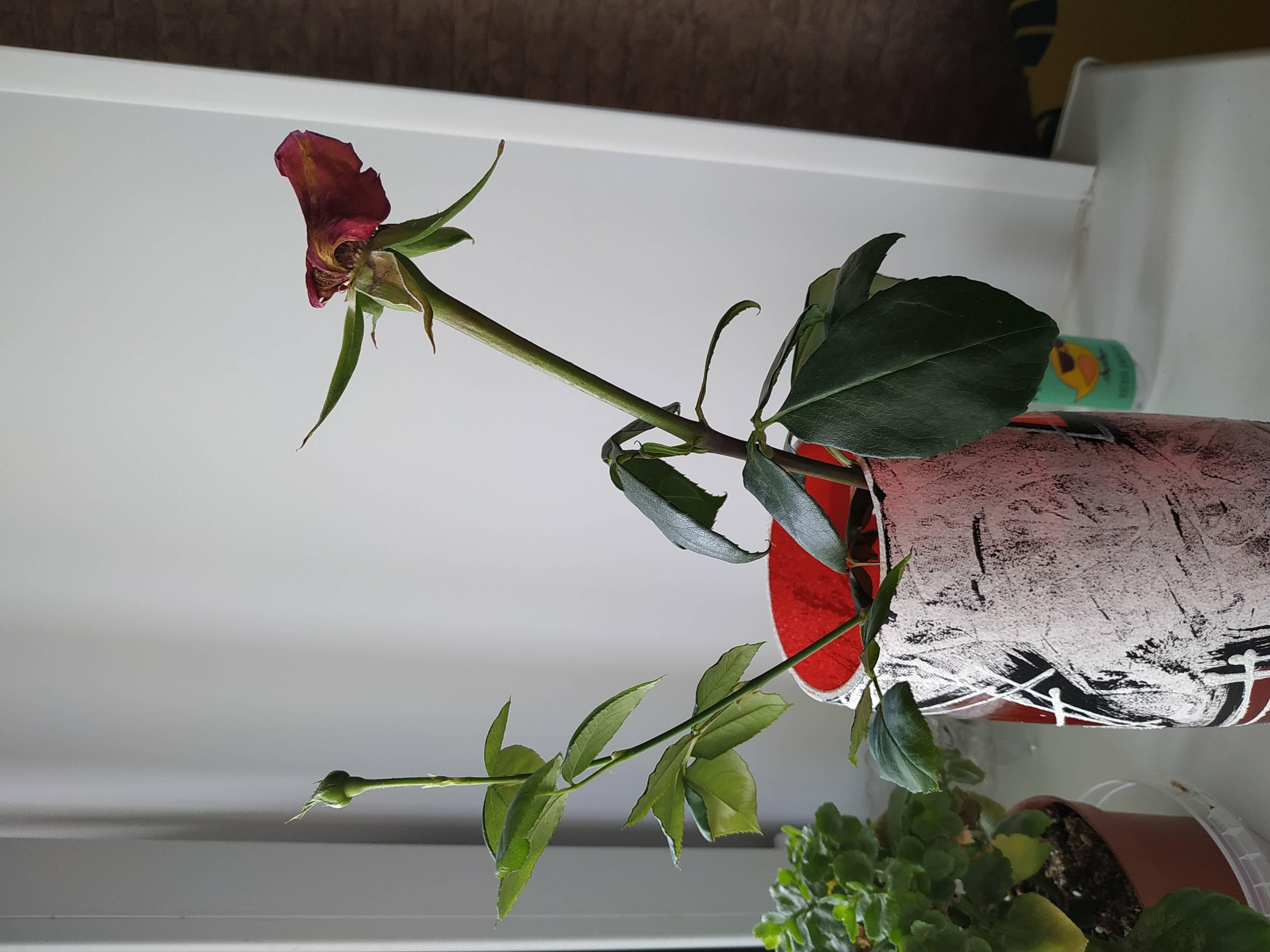 Роза дала отросток на стебле — как посадить в горшок