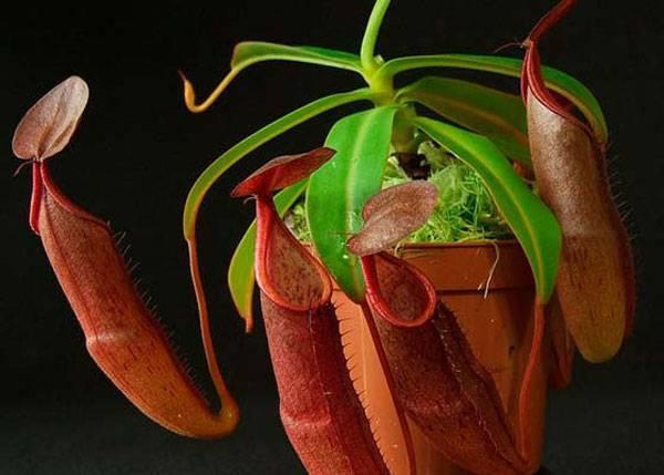 Непентес: уход в домашних условиях, фото, что это такое, размножение семенами и черенками