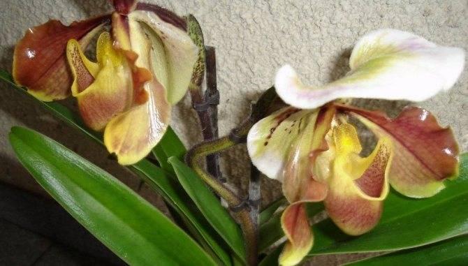 Орхидея венерин башмачок: фото, история происхождения, виды и сорта, особенности ухода и размножения в домашних условиях