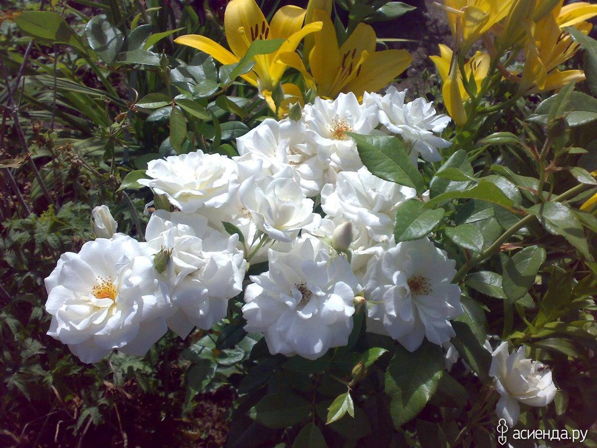 Сорта белых роз