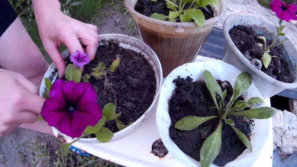 Посадка петунии на рассаду и выращивание из семян