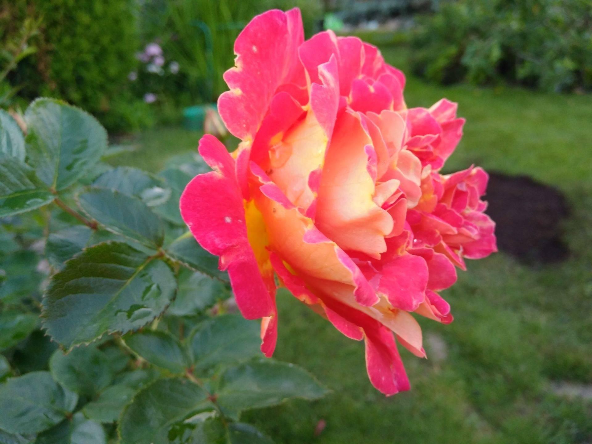 Сорта плетистых зимостойких роз: фото и описание видов, приспособленных к морозам, переносящих небольшой холод и цветущих все лето, также о посадке и уходе