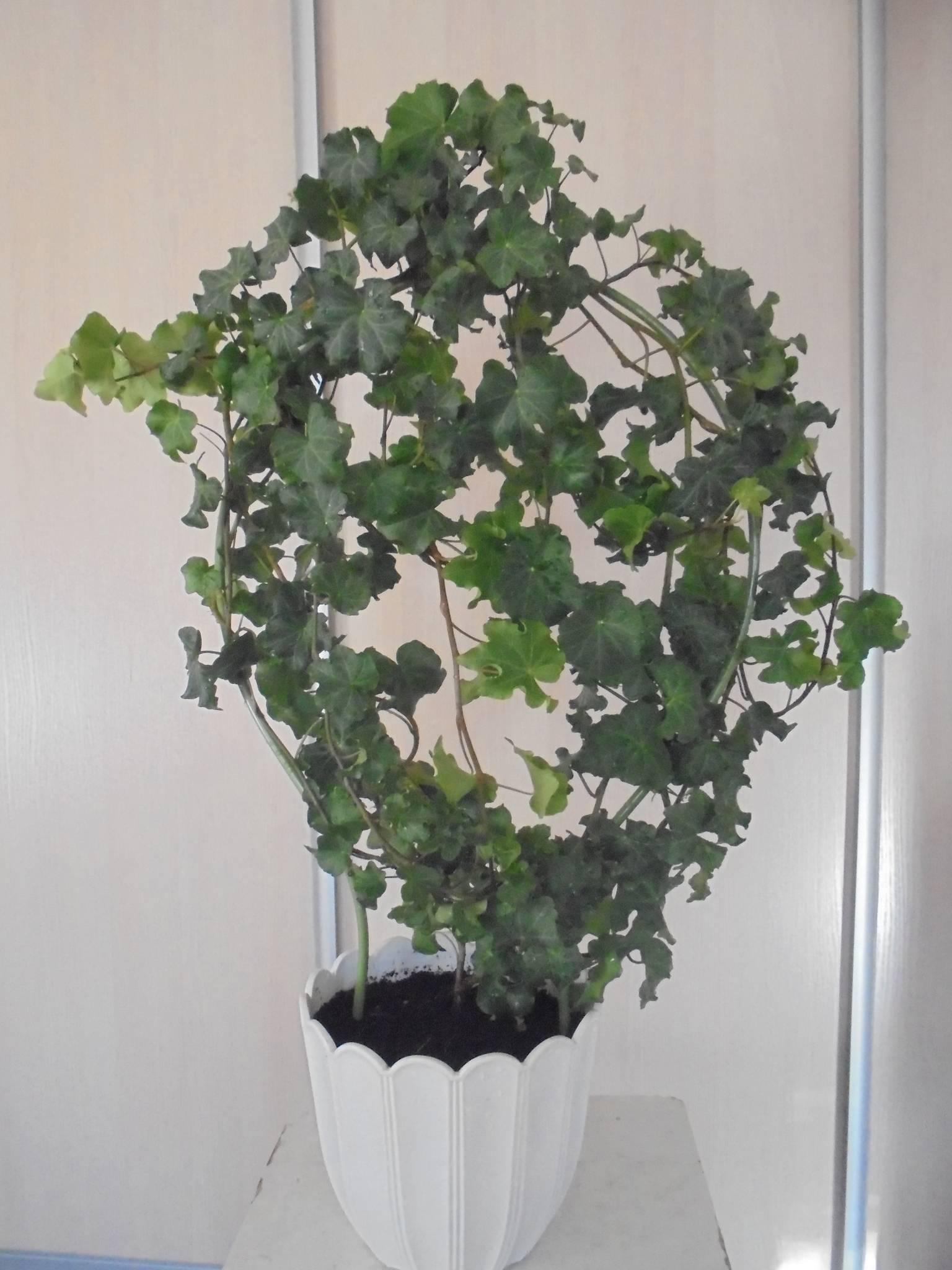 Хедера хеликс (комнатный плющ): уход в домашних условиях, размножение
