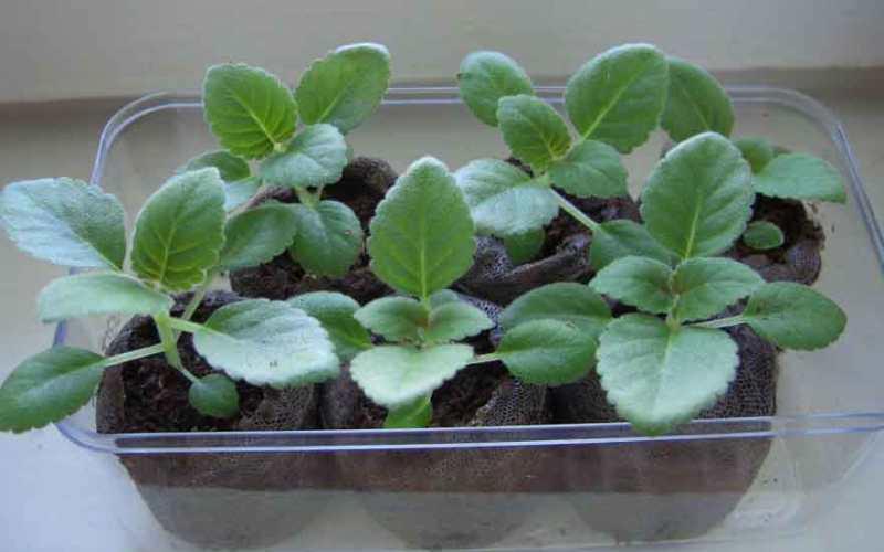 Глоксиния: как ухаживать в домашних условиях, советы по выращиванию