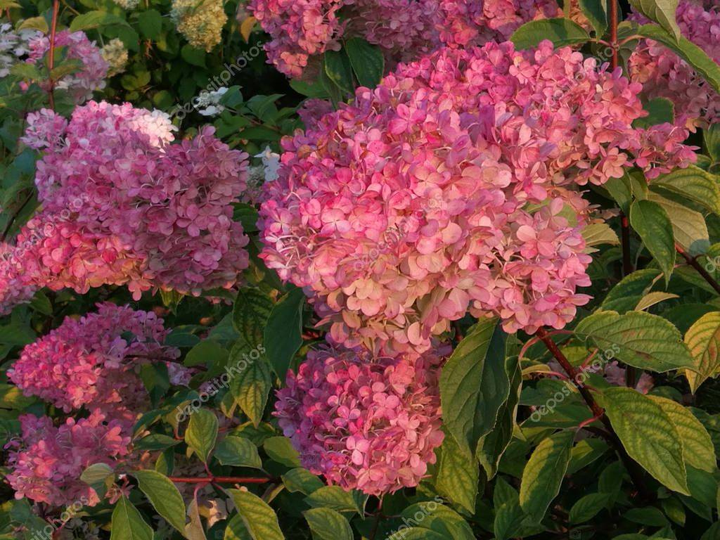 Герань цветет: когда и сколько по времени нас радует пышное растение, можно ли его опрыскивать, как обеспечить уход в домашних условиях, нужен ли обильный полив?