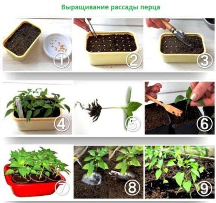 Описание и фото катарантуса. посадка растения в открытый грунт и уход