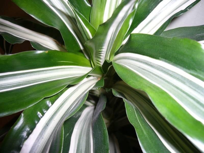 Как называется цветок комнатный с длинными узкими листьями