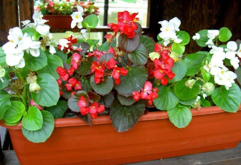 Бегония - 95 фото идей применения растения в оформлении и украшении сада