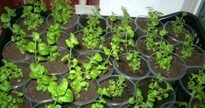 Бакопа: уход и выращивание из семян в домашних условиях, черенкование бакопы