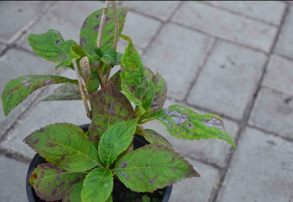 Лечение хлороза у гортензии в саду: как применять железный купорос