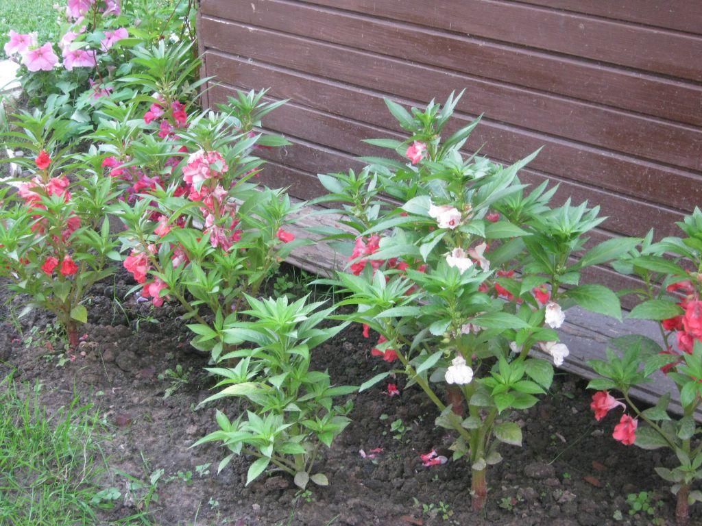 Бальзамин садовый: выращивание из семян, посадка и уход, фото