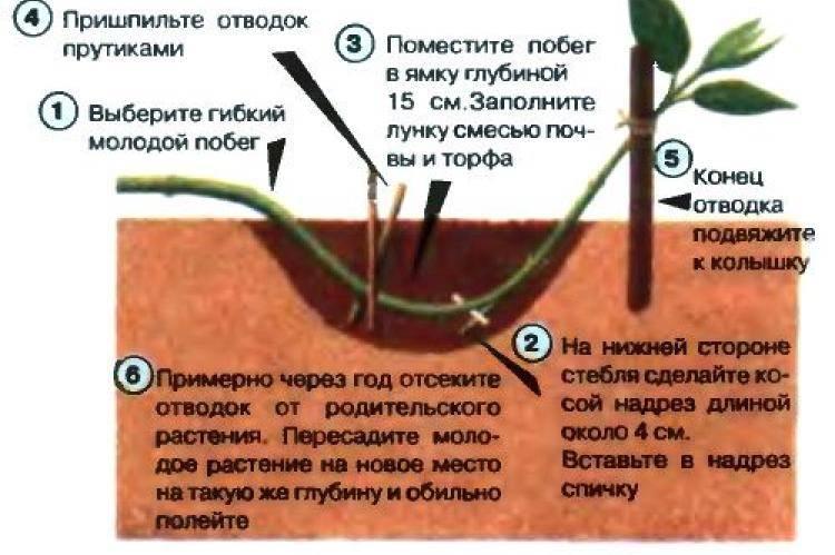 Как размножить барбарис — черенкование, деление