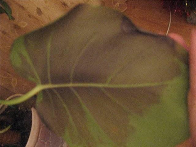 Почему желтеют листья у диффенбахии — причины