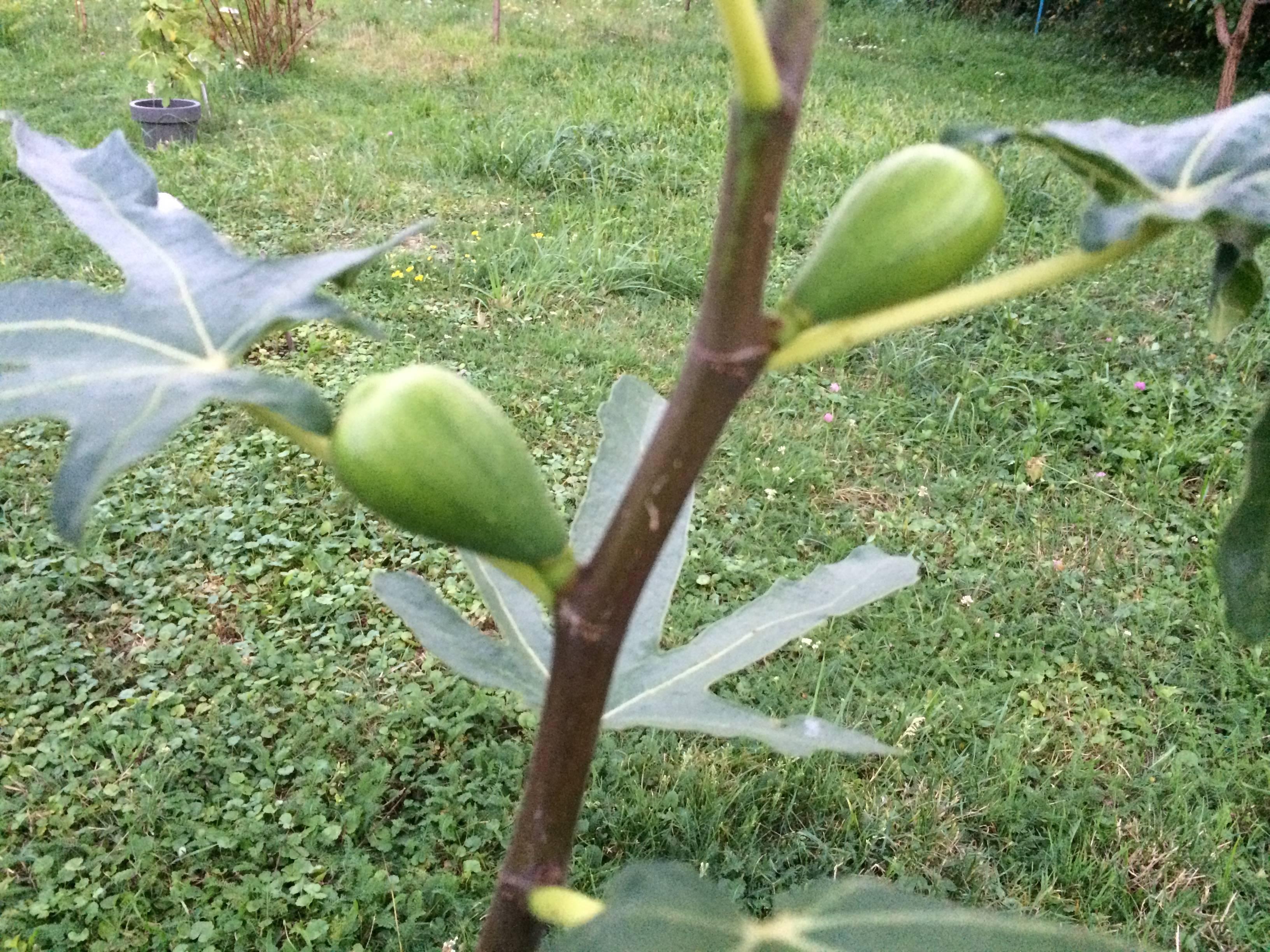 Как выращивать инжир в открытом грунте?