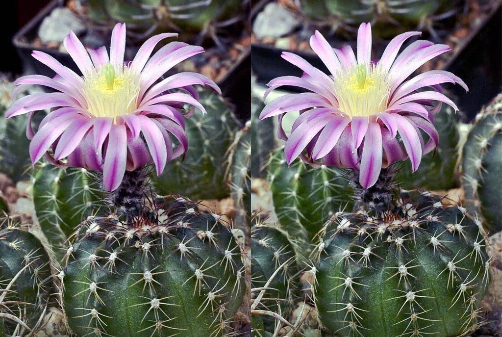 Уход дома за кактусами: цереус перуанский, монстрозный и другие виды