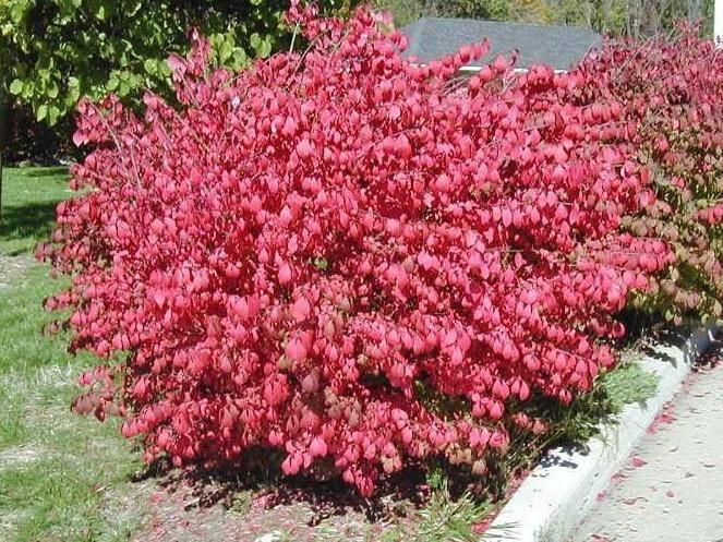 Вечнозеленые бересклеты: выращивание, сорта