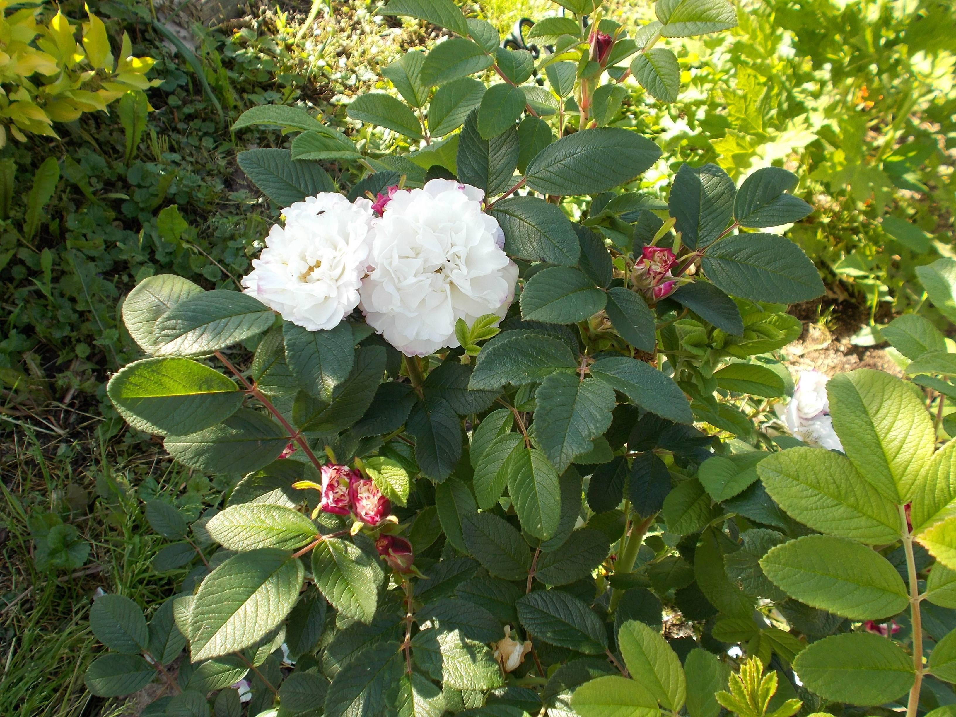 Роза анжела (angela) — характеристика сорта