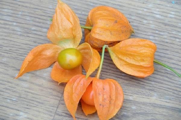 Физалис декоративный или съедобный — выращивание из семян