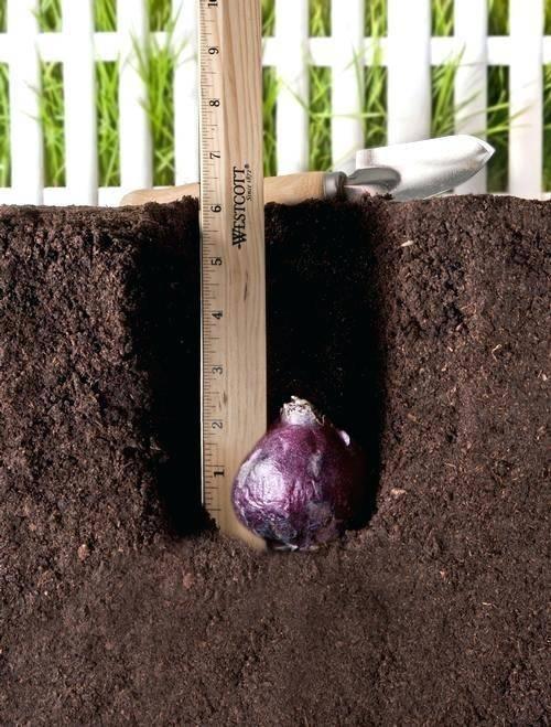 Выращивание гиацинтов: сорта, уход и размножение в открытом грунте