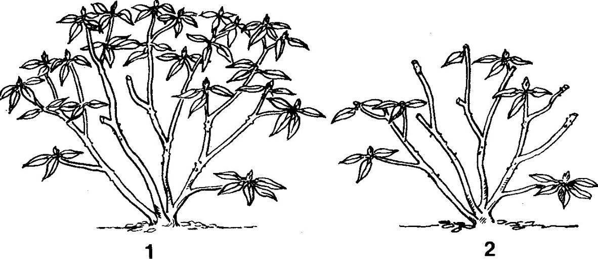 Спирея — посадка и уход в открытом грунте