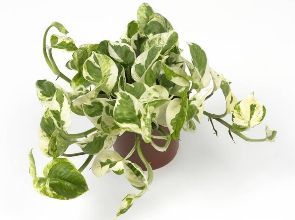 Цветок сциндапсус или эпипремнум уход в домашних условиях размножение черенками пересадка