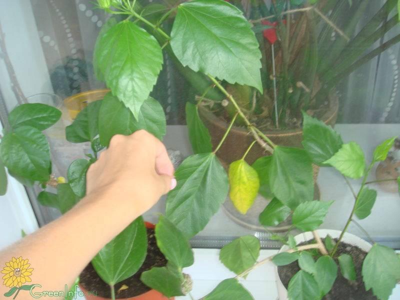 Гибискус - желтеют листья. причины, лечение, фото