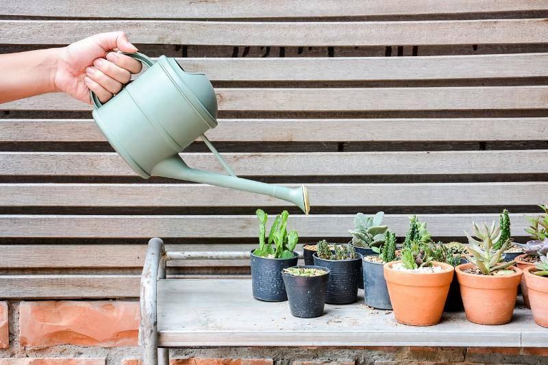Как поливать суккуленты? когда их можно поливать после пересадки и как часто это делать? сколько раз в неделю надо поливать суккуленты зимой?