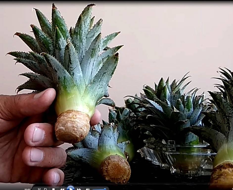 Как вырастить ананас из верхушки в домашних условиях: пошаговая инструкция