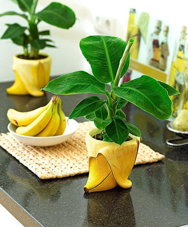 Комнатный банан — как вырастить тропическое чудо