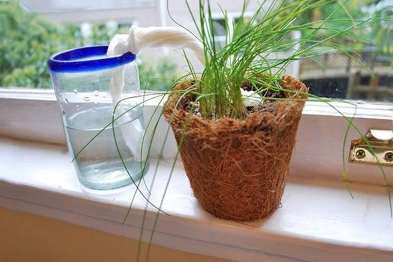 Как выращивать циперус комнатный дома: какой грунт, пересадка, размножение, полив