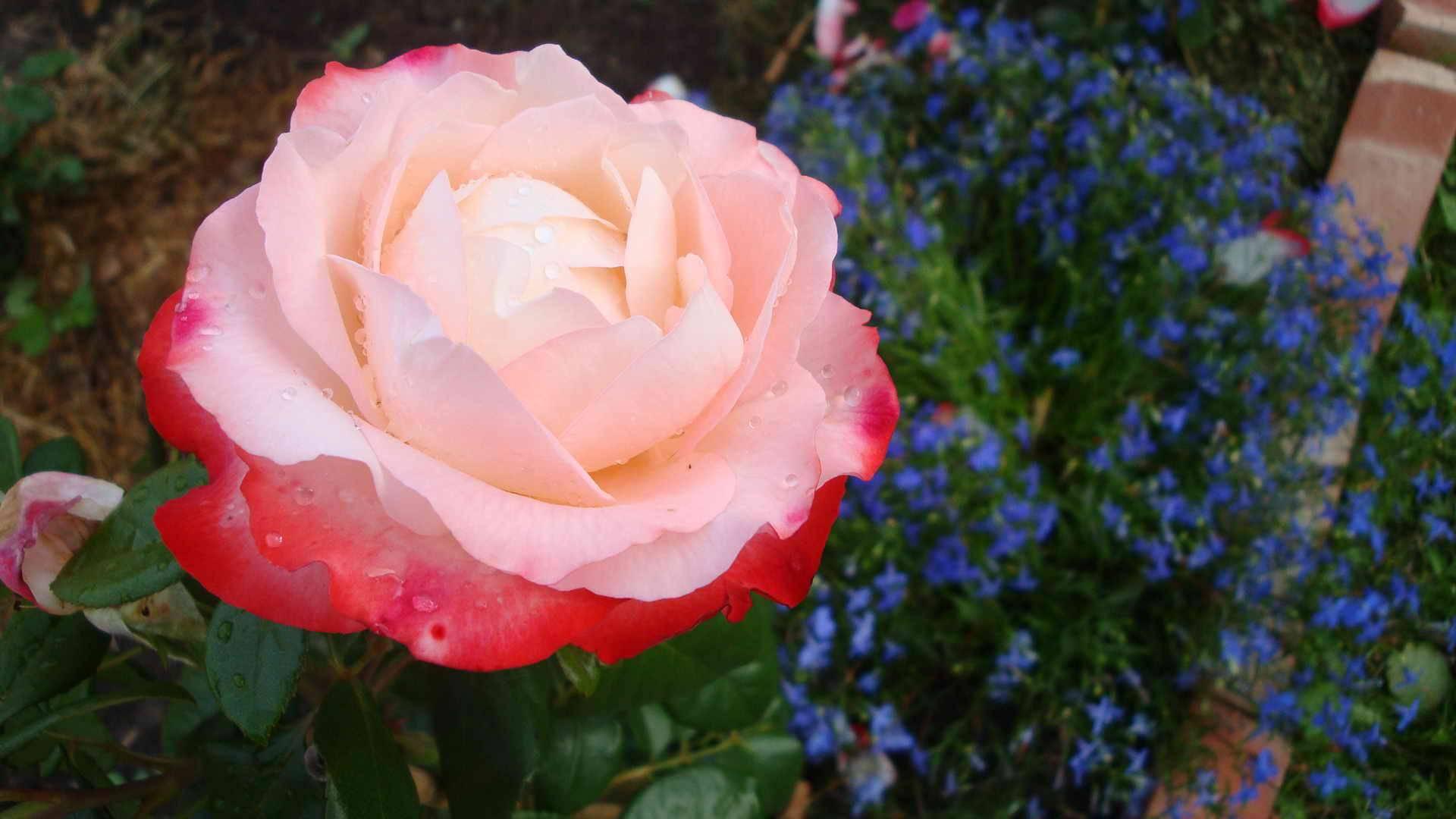 Роза аспирин (aspirin)