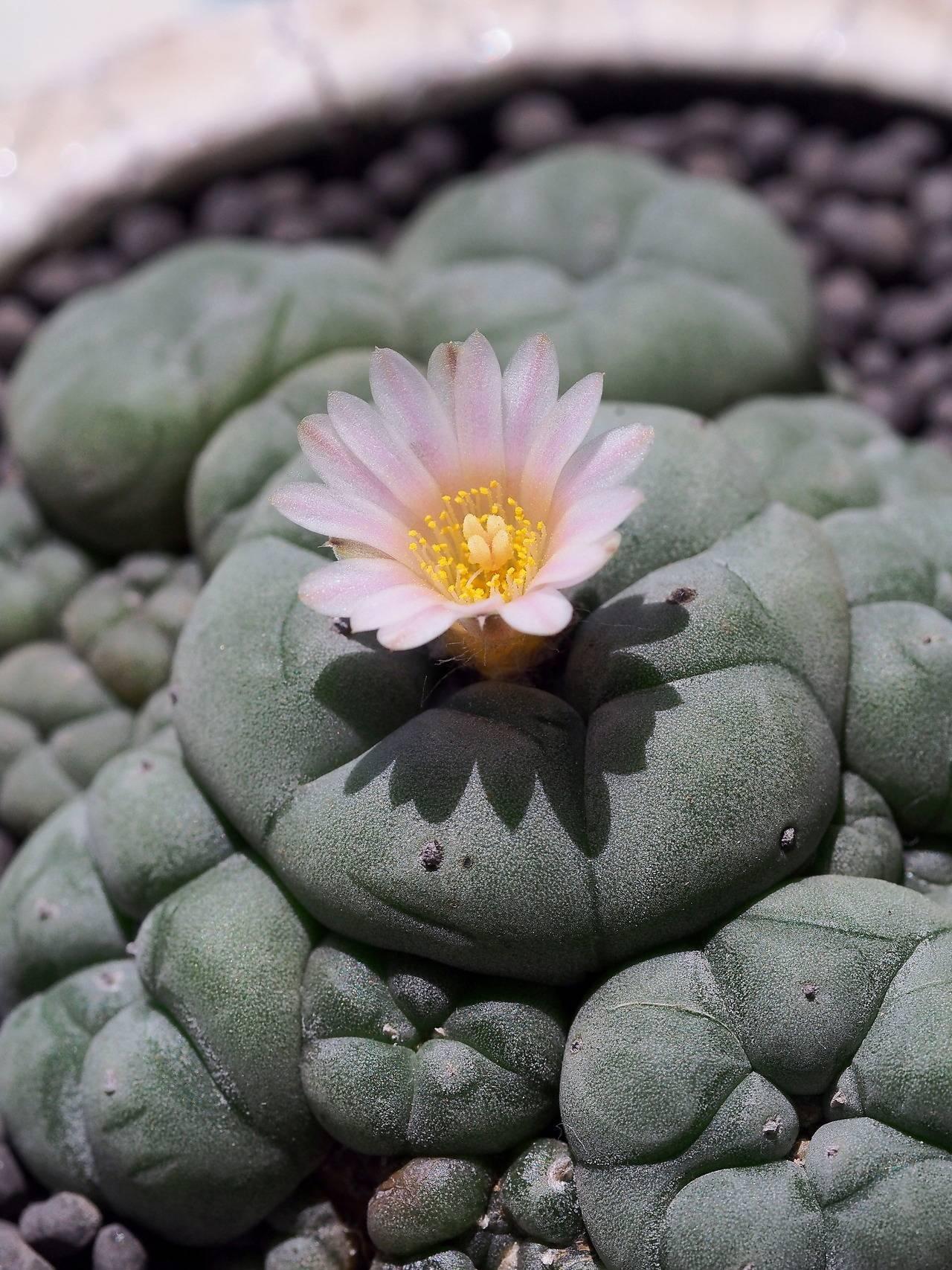 Лофофора (lophophora) — описание, выращивание, фото | на leplants.ru