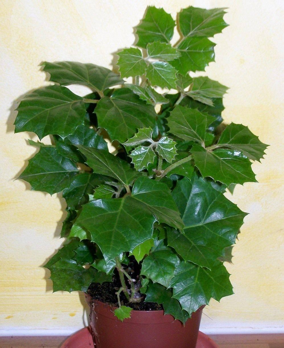 Домашнее растение «березка» (роициссус): уход в домашних условиях, фото, польза и вред комнатного цветка