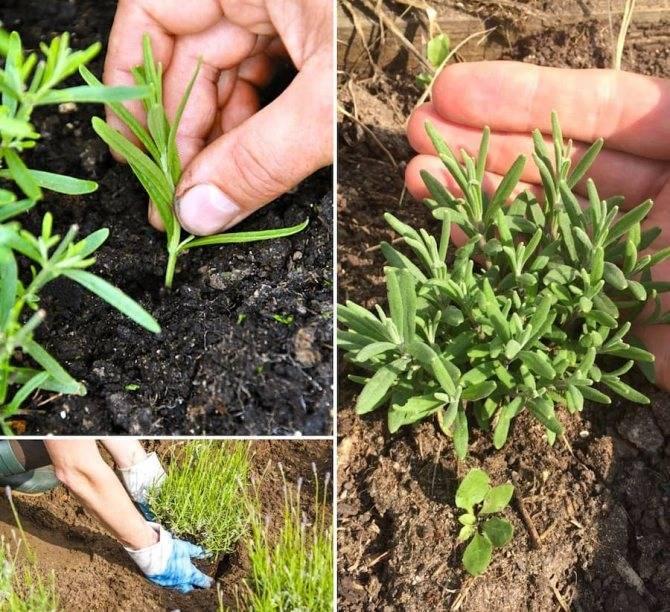 Лаванда узколистная(lavandula angustifolia)