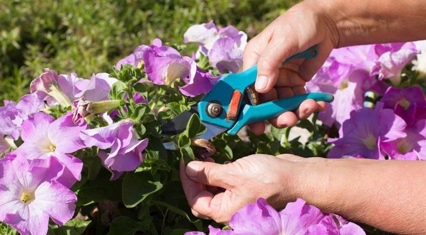 Выращивание петунии дома: посадка, уход, размножение