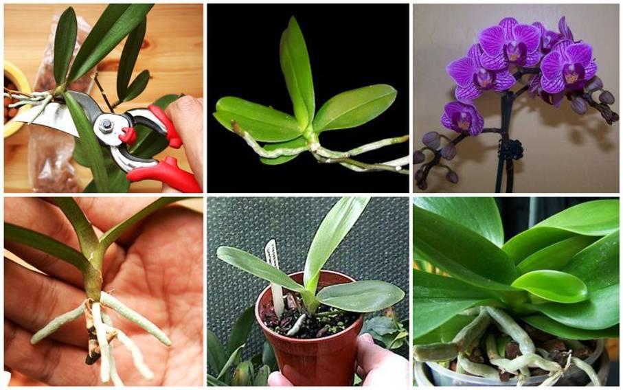 Размножение орхидеи фаленопсис в домашних условиях (31 фото): как размножать черенками пошагово? как отделить детку от цветоноса? посадка и уход