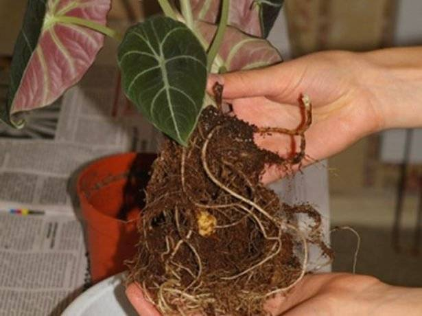 Алоказия «полли» (26 фото): уход в домашних условиях. можно ли держать ее дома? размножение и цветение алоказии «полли»