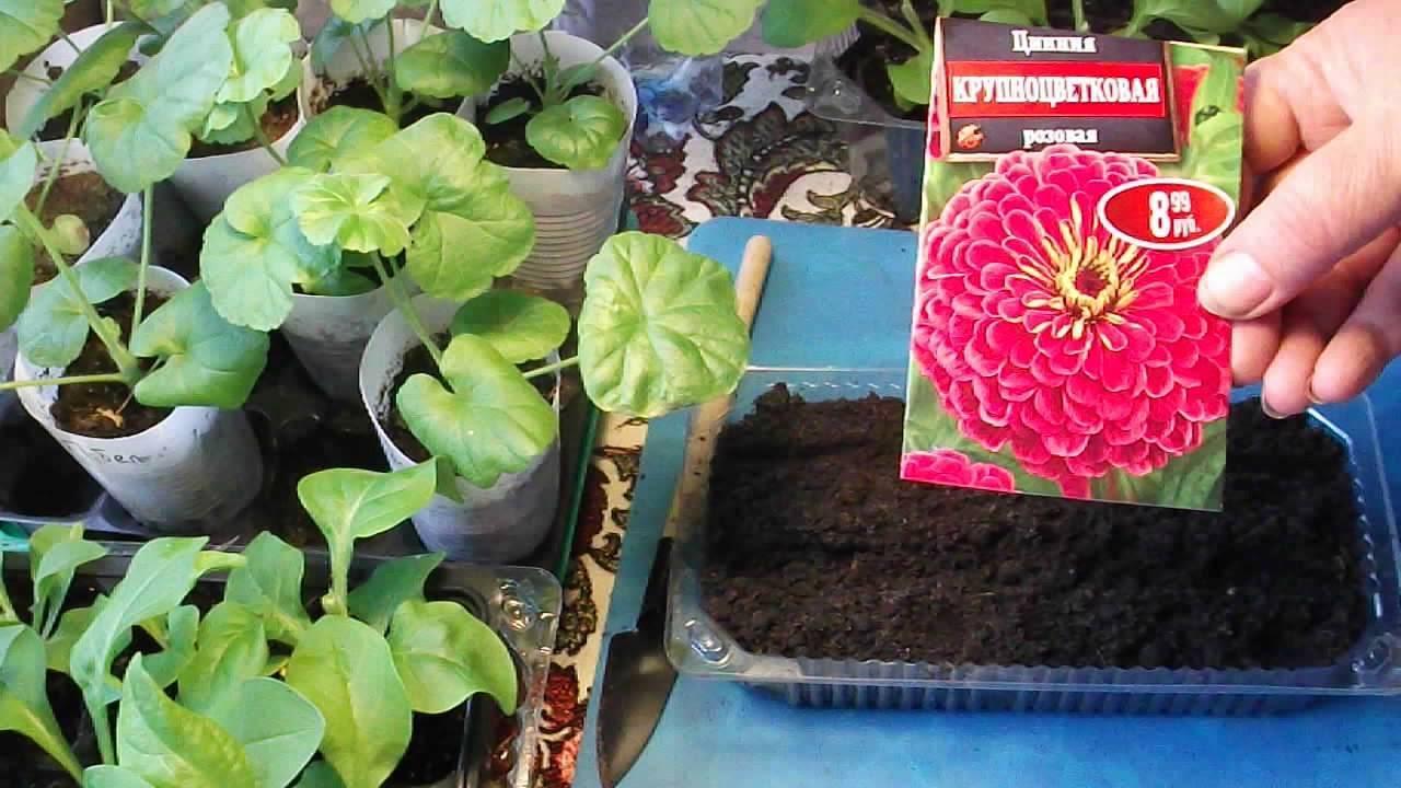 Цветок циния: уход и посадка в открытый грунт, фото, выращивание из семян