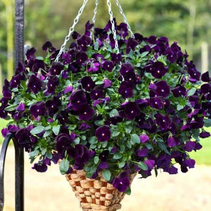 Виола: выращивание из семян на рассаду