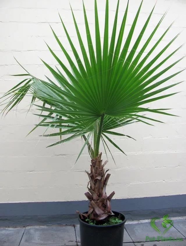 фото и названия пальмовых домашних растений заскочить