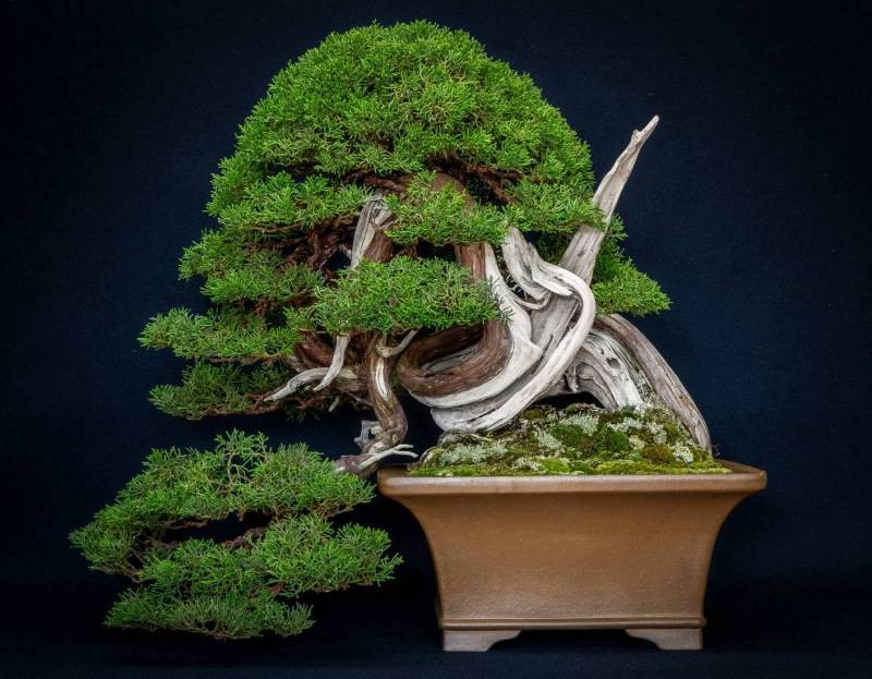 Как вырастить бонсай из семян своими руками: правила высаживания