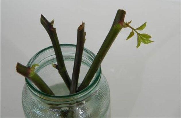 Если розы дали побеги на стебле в вазе, как посадить отросток дома в горшок