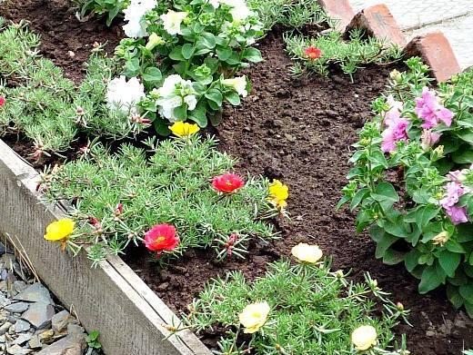 Когда сажать портулак при выращивании из семян: советы новичкам