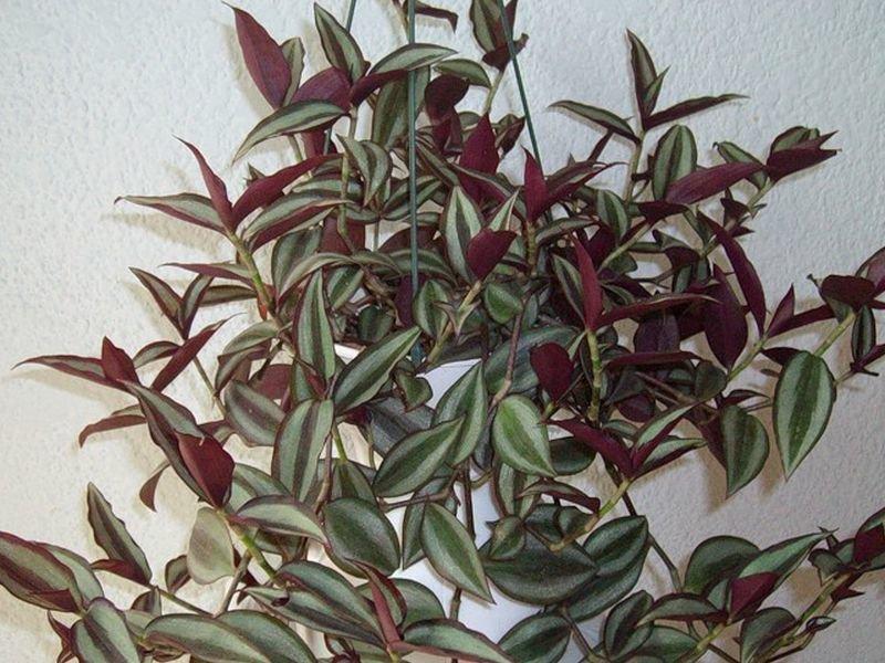 Цветок традесканция: виды комнатного растения, фото и видео ухода в домашних условиях