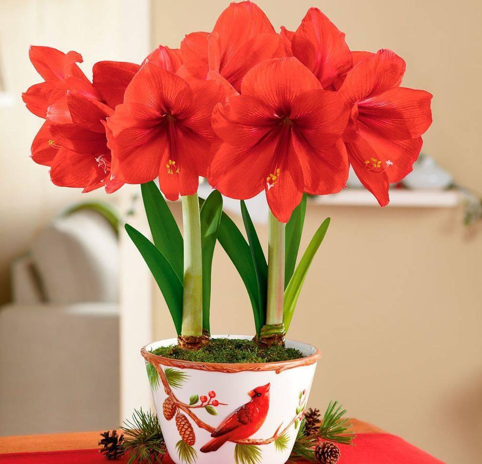Всё об амариллисах, уходе в домашних условиях: почему не цветет и как заставить