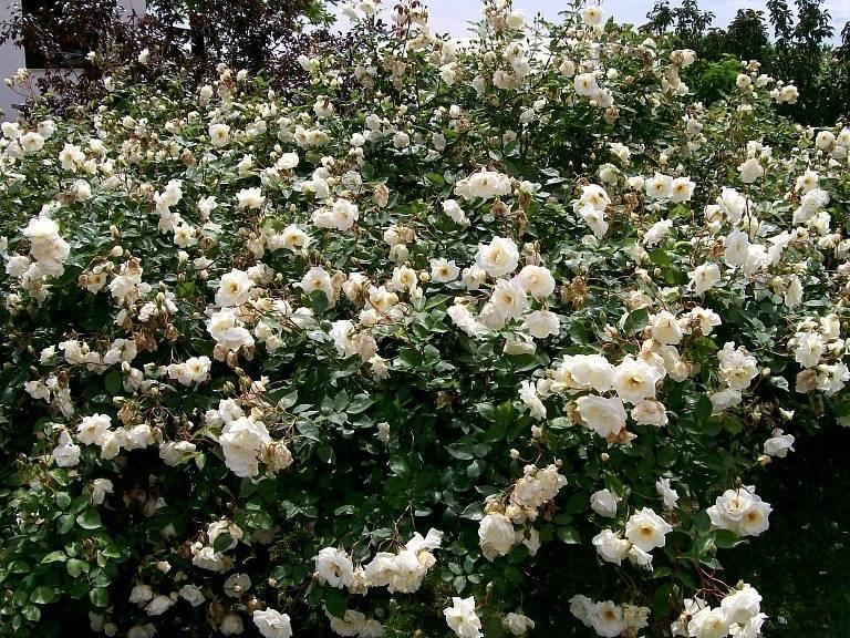 Сорта роз: фото с названием, характеристикой и описанием всех самых красивых, ароматных, теневыносливых, бордюрных и иных разных видов, какие бывают в природе