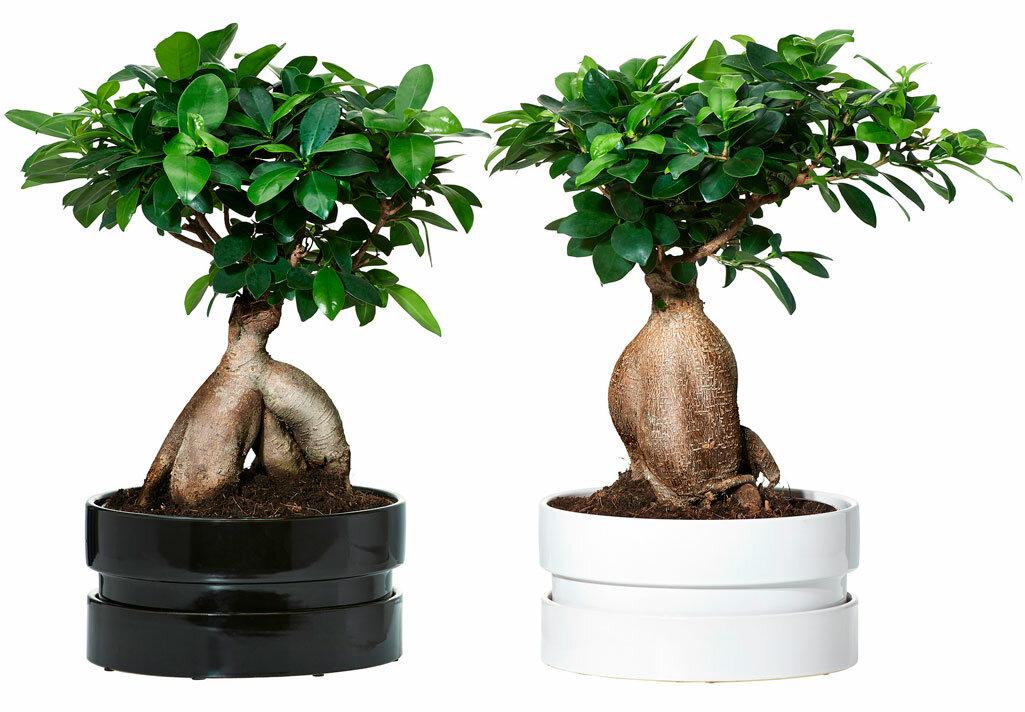 Как размножить фикус? как размножать крупнолистный фикус листом в домашних условиях? как его укоренить? размножение семенами и другие способы