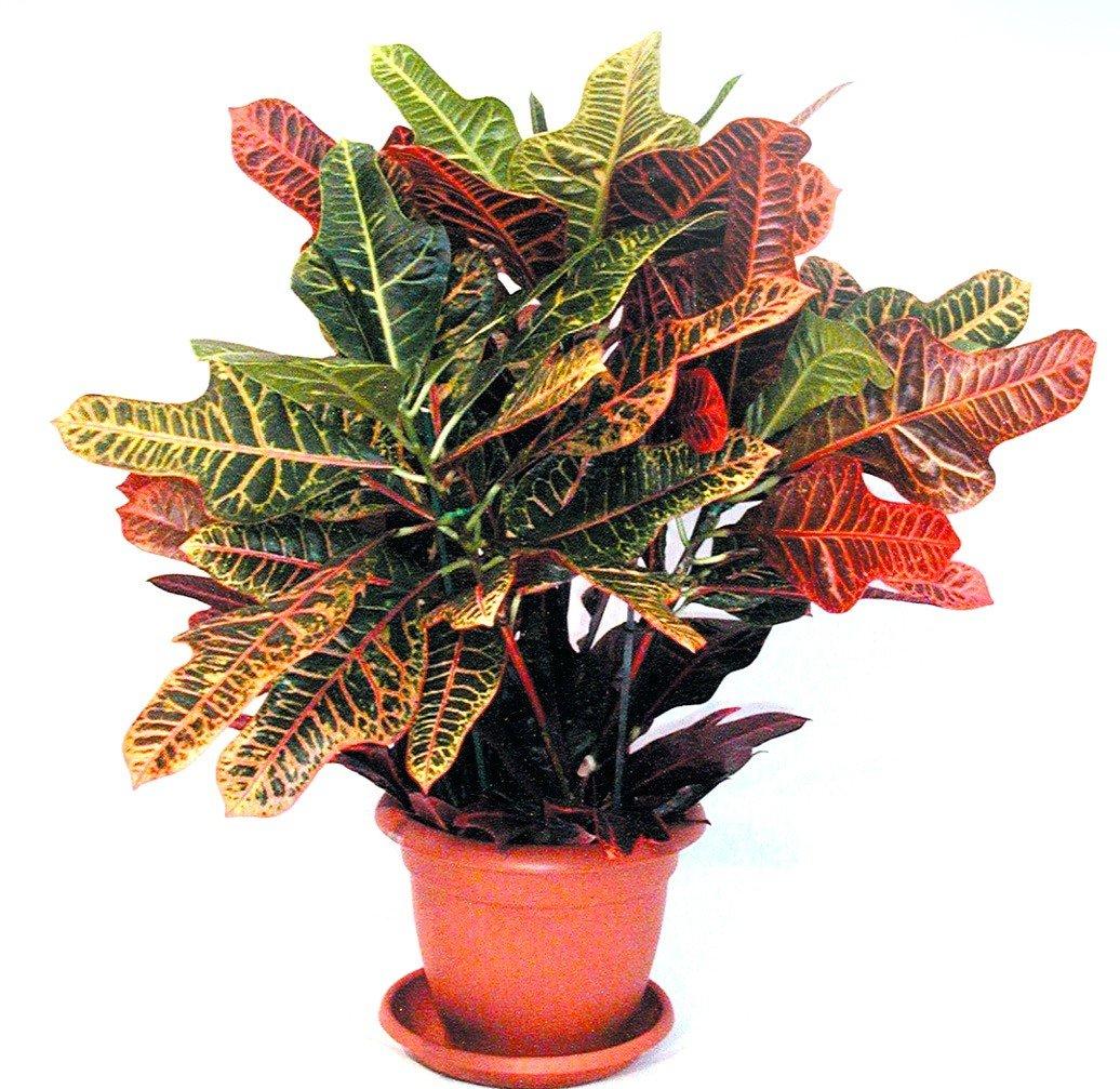 Комнатное растение кротон картинка